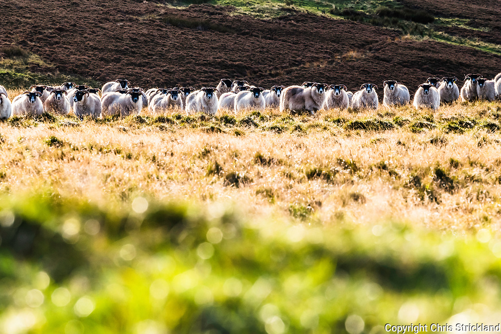 Black Face sheep gathered on Humblemoor in the Kale Valley near Hownam.