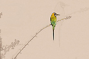 Digitally enhanced image of a White-throated Bee-eater (Merops albicollis) on a twig. Photographed at Samburu National Reserve, Kenya in February