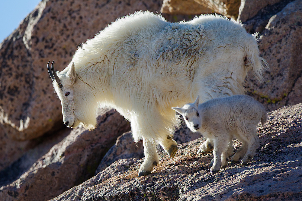 Stock Photo of Mountain Goat captured on Mount Evans, Colorado.  The mountain goats skeleton is arranged so that all four hooves can fit on a small ledge.
