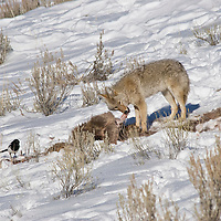 Coyote eating elk carcass.