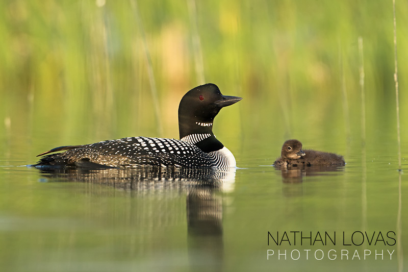 Common Loon with chick on green water;  Minnesota.