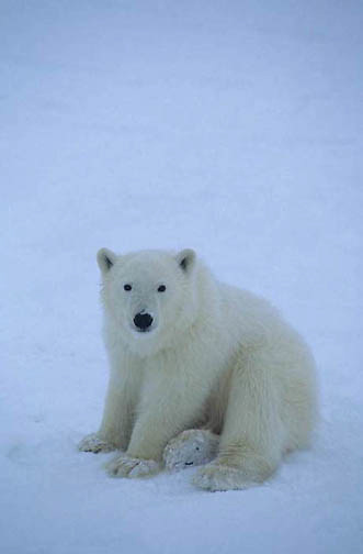 Polar Bear, (Ursus maritimus) Portrait of cub waiting for Hudson Bay to freeze. Manitoba. Canada.