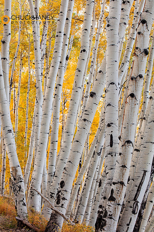 Aspen grove in autumn along Last Dollar Road in the Uncompahgre National Forest, Coloradfo, USA