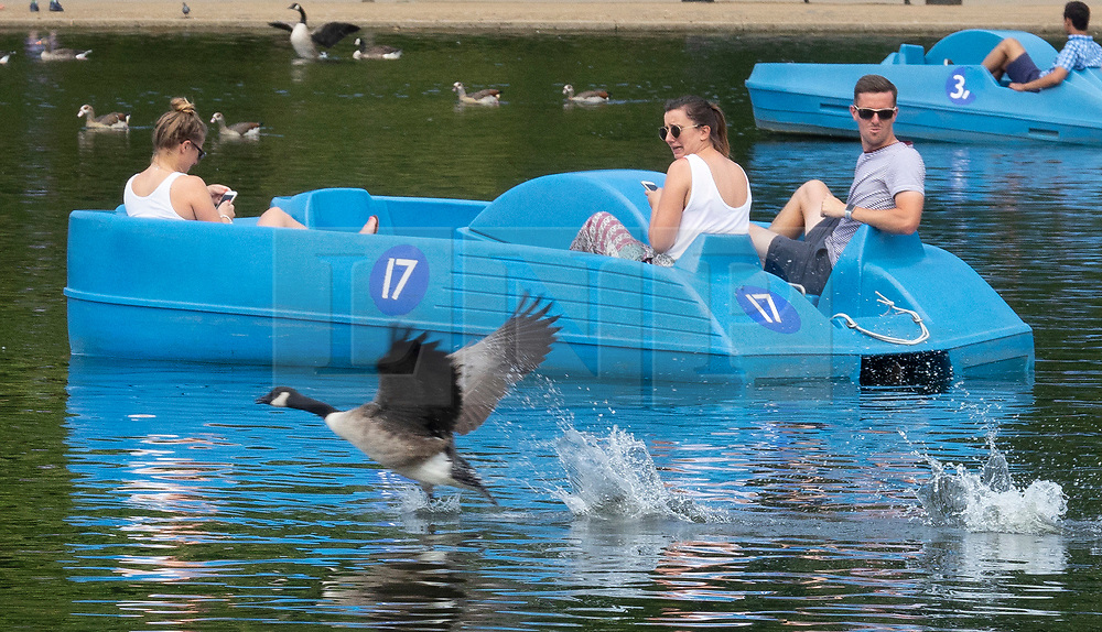© Licensed to London News Pictures. 27/07/2018. London, UK. Pedal boat riders react as a goose lands in the Serpentine in Hyde Park. Rain is expected later to break the heatwave in parts of the south. Photo credit: Peter Macdiarmid/LNP