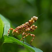 Creobroter elongata, flower mantis. Kaeng Krachan National Park, Thailand.