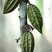 Cacao d'Amazonie   Cacao da amazonia no Seringal Cachoeira. Acre. Brasil. Seringal Cachoeira.