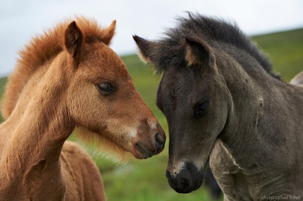 Icelandic Ponies in North Iceland.