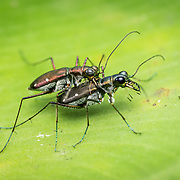 Cicindela (Calochroa) flavomaculata tiger beetles mating in Khao Luang National Park, Thailand.