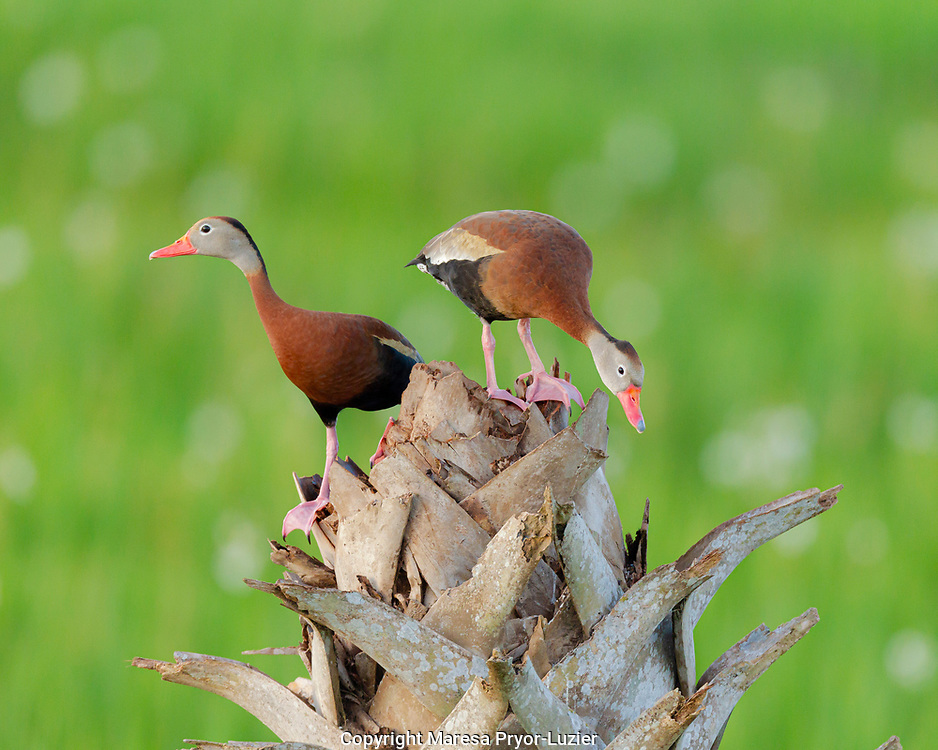 Black-bellied Whistling Duck pair on cabbage palm,  Dendrocygna autumnalis,   Viera wetlands, Florida