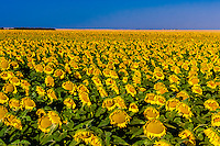 Sunflower fields, Schields & Sons Farm near Goodland, Western Kansas USA.