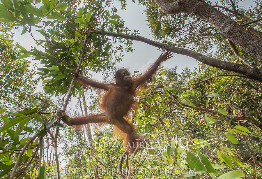 A juvenile Bornean orangutan, Pongo pygmaeus, swings in the tress of Tanjung Puting in Borneo, Indonesia.