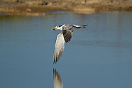 Great Crested Tern photos