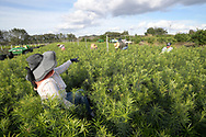 Migrant workers tend to a field full of landscape shrubbery at Hooper Farms, Tuesday, Jan. 17, 2017, in Apopka, Fla. (Phelan M. Ebenhack via AP)