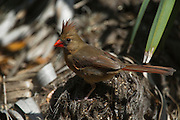 Northern Cardinal (Cardinalis cardinalis)<br /> Little St Simon's Island, Barrier Islands, Georgia<br /> USA<br /> HABITAT & RANGE: Woodlands to shrubs from Canada south through eastern USA to northern Mexico