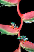 A red-eyed treefrog (Agalychnis callidryas) perched on a tropical heliconia flower. Range: tropical rainforests southern Mexico to Pananma.
