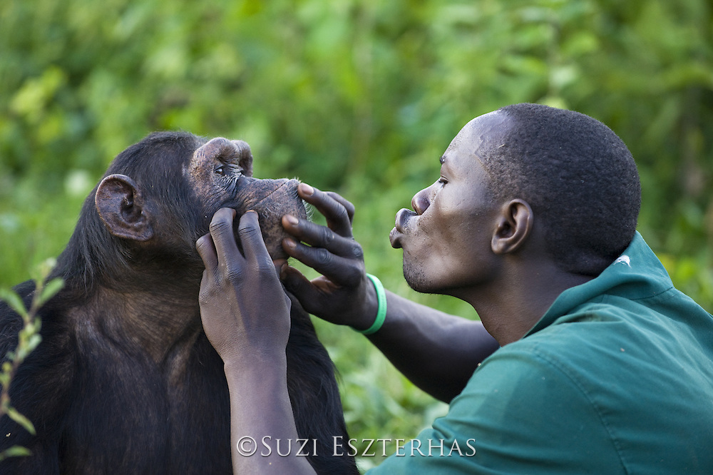 Chimpanzee<br /> Pan troglodytes<br /> Rodney Lemata (Caretaker) grooming rescued chimpanzee(s)<br /> Ngamba Island Chimpanzee, Sanctuary <br /> *Model release available - Release #MR_007