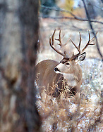 Trophy Buck Mule Deer, behind tree, fresh snow, Jackson Hole, Wyoming<br />