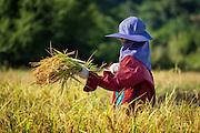 Hand Harvesting Rice in Nakhon Nayok, Thailand.