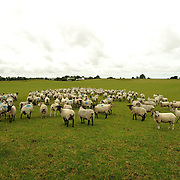Sheep, from the farmer Enda Doran, grazing in a field outside in Ballinasloe, Co. Galway...Mr. Doran is the eldest of 3 brothers and sisters and by tradition the heritor of the family farming land and business. His farming activities involve cereal and potato production, cattle and sheep breathing and contract work for other farmers.