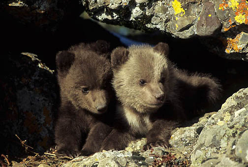 Grizzly Bear, (Ursus horribilis) Pair of spring cubs peeking out of den. Montana.  Captive Animal.