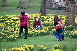 © Licensed to London News Pictures. 01/03/2017. London, UK. Tourists take photographs with blooming yellow daffodils in St James's Park on the first day of meteorological Spring. Photo credit: Rob Pinney/LNP