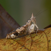 Ceratomantis saussurii (Wood-Mason, 1876) Horned mantis or spiny mantis. Khao Yai National Park..