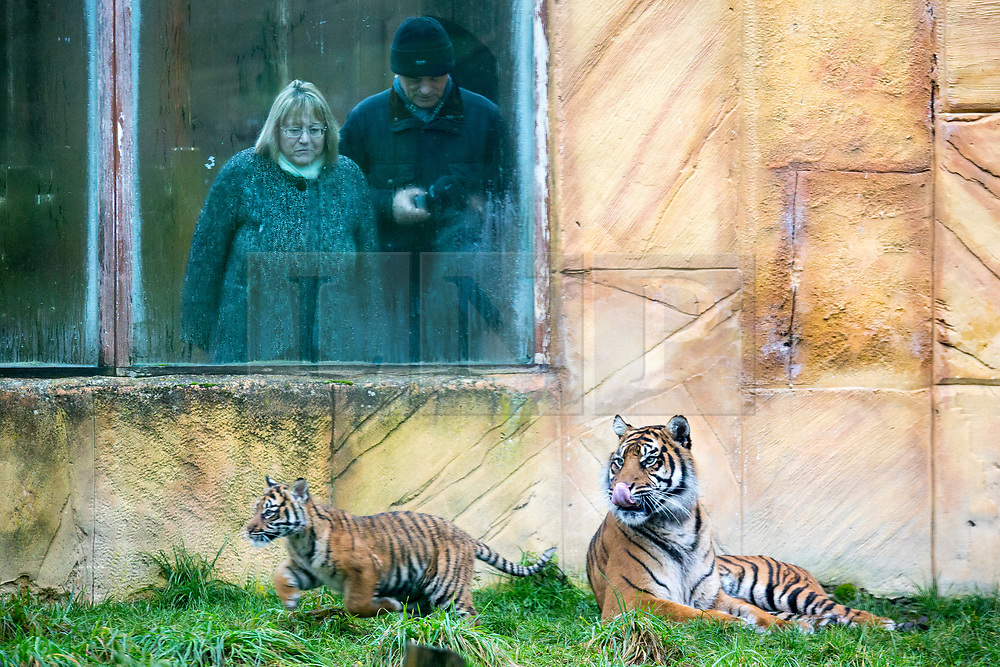 © Licensed to London News Pictures. 21/12/2017. Kirby Misperton UK. A Tiger cub born in August is watched by members of the public today as she took her first steps outside today at Flamingo Land zoo in Yorkshire. The female cub is so far un-named & is the cub of Bawa & Surya. The new arrival was the culmination of seven years of hard work by Flamingo Land animal carers in their attempts to protect the critically endangered species. Photo credit: Andrew McCaren/LNP