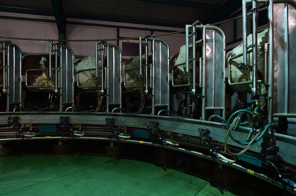 27/10/15 - CRAPONNE SUR ARZON - HAUTE LOIRE - FRANCE - Bastien et Tom RAMOUSSE, enfants d eleveur de vaches laitieres Montbelairdes. Tous les 2 passionnes par le metiers. Tom au roto de traite Westfalia - Photo Jerome CHABANNE