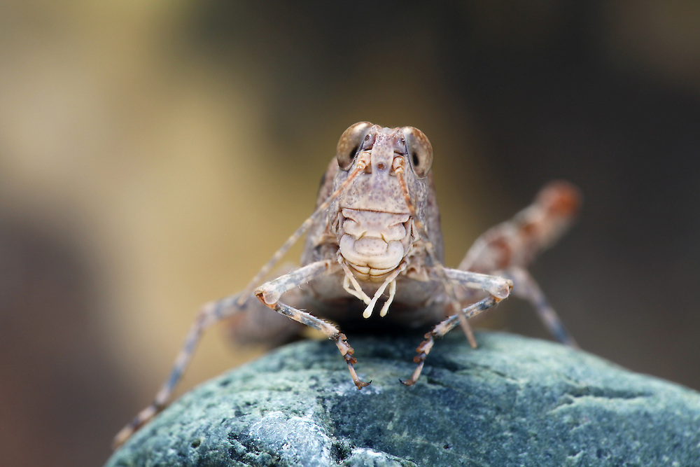 Grasshoppers jump by catapulting themselves into the air. If humans could jump the way grasshoppers do, we could easily leap the length of a football field or more. How do they jump so far? It's all in those big back legs. A grasshopper's hind legs function like miniature catapults. When it wants to jump, the grasshopper contracts its large flexor muscles slowly, bending its hind leg at the knee joint. A special piece of cuticle within the knee acts as a spring, storing up all that potential energy. When the grasshopper is ready to jump, it relaxes the leg muscles, allowing the spring to release its energy and catapulting its body into the air. Grasshoppers can also fly. Because grasshoppers have such powerful jumping legs, people sometimes just don't realize that they have wings, too! Most grasshoppers are pretty strong fliers, and will make good use of their wings to escape predators. Their jumping ability just gives them a boost into the air. Grasshoppers have ears in their bellies. The auditory organs are in an unusual location – on their abdomens. On each side of the first abdominal segment, tucked under the wings, you'll find membranes that vibrate in response to sound waves. This simple eardrum allows the grasshopper to hear the songs of its fellow grasshoppers.