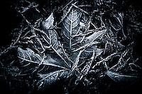A frozen maple leaf lies nestled amongst fallen pine branches.