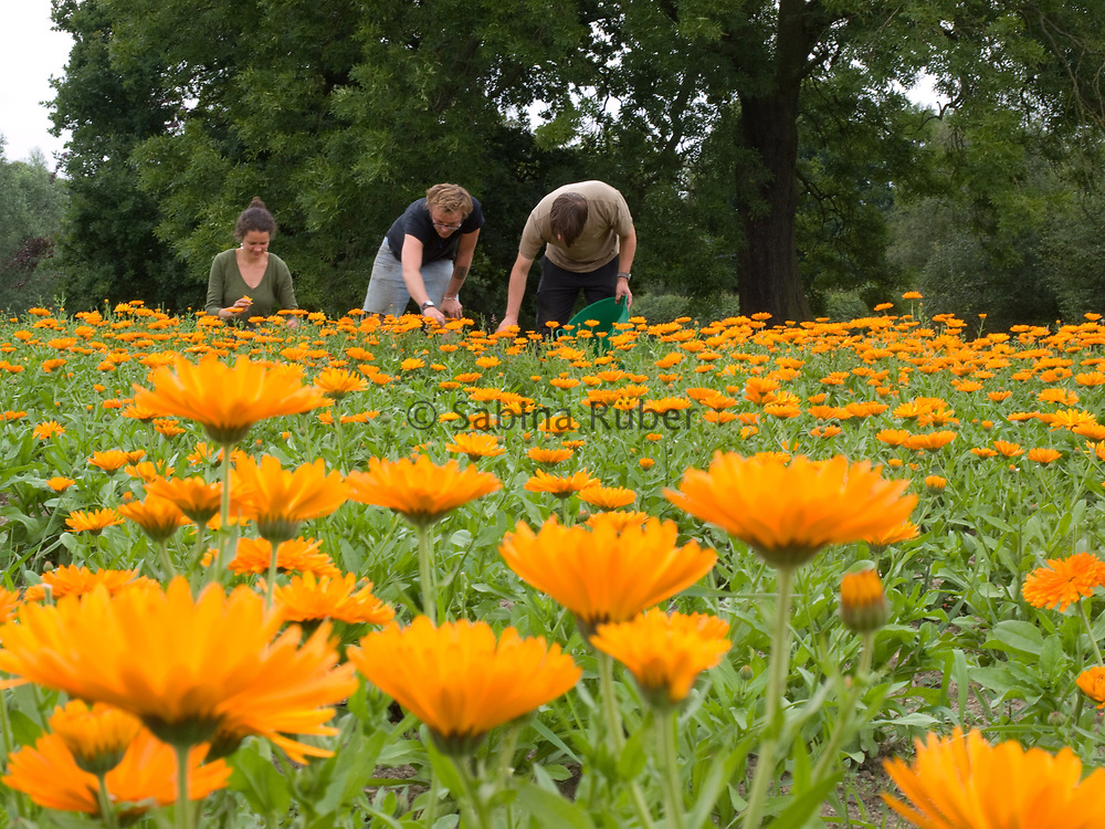 Harvesting Calendula, Weleda UK