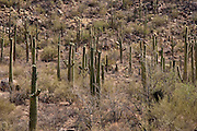 Saguaro cactus forest in Saguaro National Park, Arizona