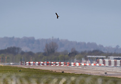 © Licensed to London News Pictures. 06/04/2020. London, UK. A large Red Kite bird of prey circles over Heathrow's closed southern runway before landing. As the lockdown continues airlines will only take off and land from one runway alternating between the two every other week.  The United Kingdom has started a third week of lockdown in an attempt to halt the spread of the coronavirus Covid-19. Photo credit: Peter Macdiarmid/LNP