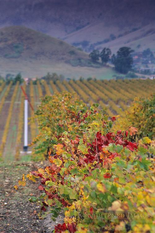 Vineyards in the Edna Valley in fall, near San Luis Obispo, San Luis Obispo County, California
