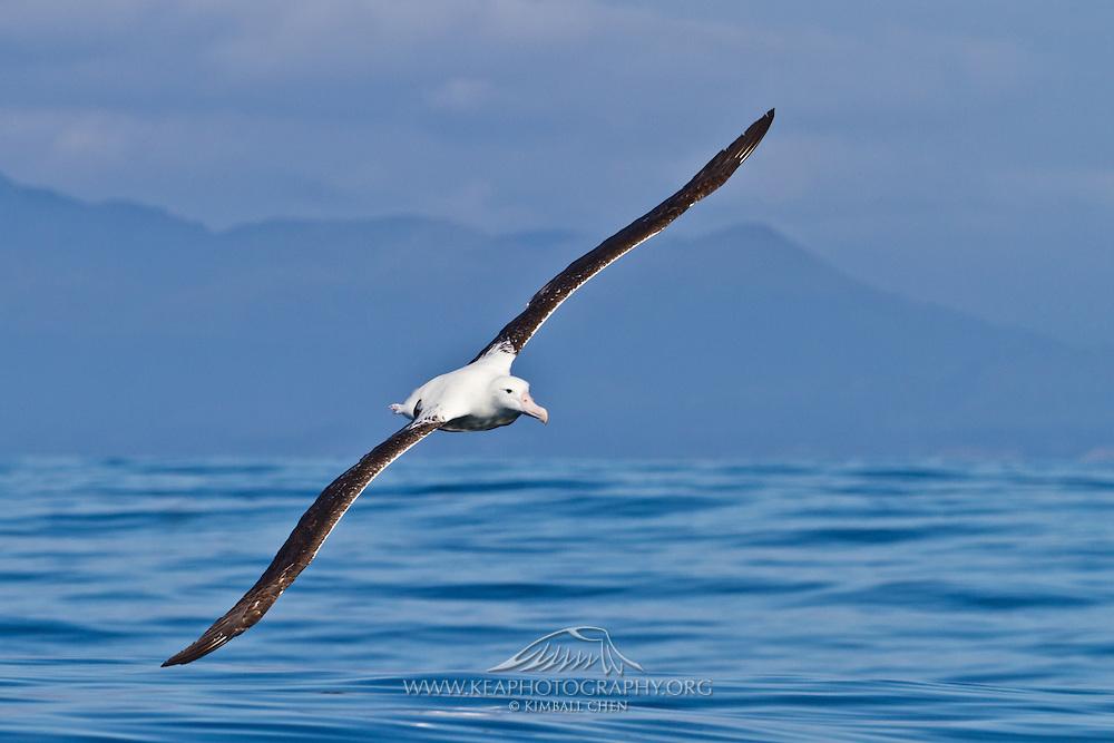 Northern Royal Albatross, New Zealand
