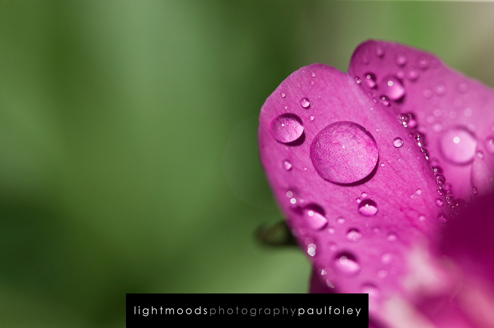 Detail of Flower Petal and Water Droplet