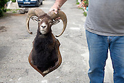 man holding the stuffed head of a bighorn mountain goat