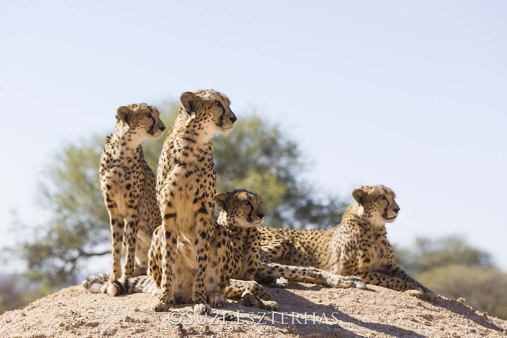 Cheetah <br /> Acinonyx jubatus<br /> Cheetah Conservation Fund, Namibia<br /> *Captive - rescued cheetahs