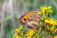 Pyronia tithonus - Gatekeeper
