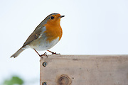 Robin on bird table by snowy bank, The Cotswolds, UK