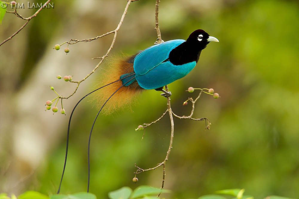 Blue Bird of Paradise (Paradisaea rudolphi) male foraging.