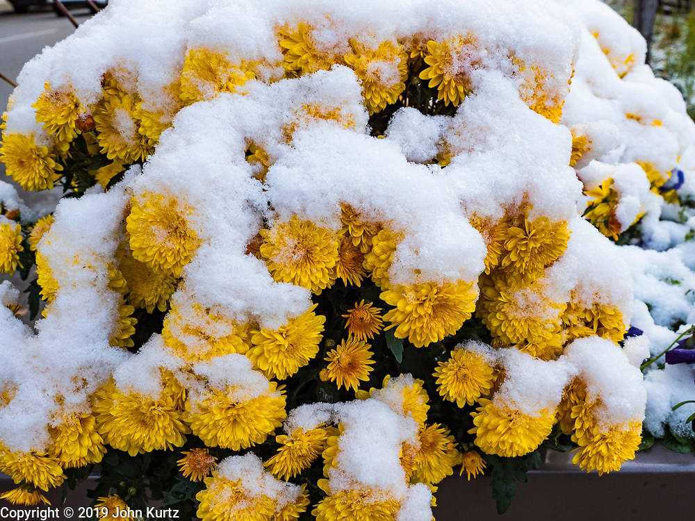 29 OCTOBER 2019 - DES MOINES, IOWA: A dusting of snow on marigolds in city flower box in downtown Des Moines Tuesday morning. An unseasonably early dusting of snow, less than 1 inch, blanketed the Des Moines area Tuesday morning. The snow did not accumulate on roads or sidewalks. Des Moines normally gets its first accumulation of snow in mid-November. More snow is expected later this week.             PHOTO BY JACK KURTZ