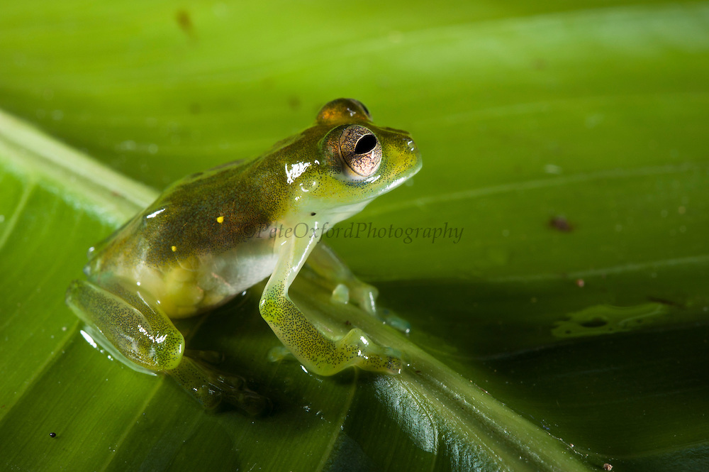 Santa Cecilia Glass Frog (Cochranella midas)<br />