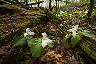 A group of Trilliums grow between a downed tree.