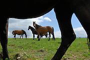 Pferde auf Halboffene Weidelandschaft oder Hudelandschaft in Crawinkel | Horses grazing on the fields in Crawinkel.