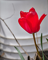 Red Tulip flower.  Image taken with a Leica CL camera and 60 mm f/2.8 lens (ISO 100, 60 mm, f/4.5, 1/800 sec).