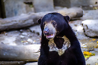 Indonesia, Sumatra. Medan. The old Medan Zoo, now moved to e new location. Sun bear, the smallest member in the bear family.