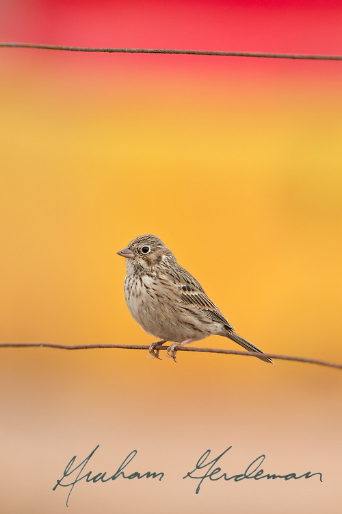 Vesper Sparrow on a wire in yellow and red.