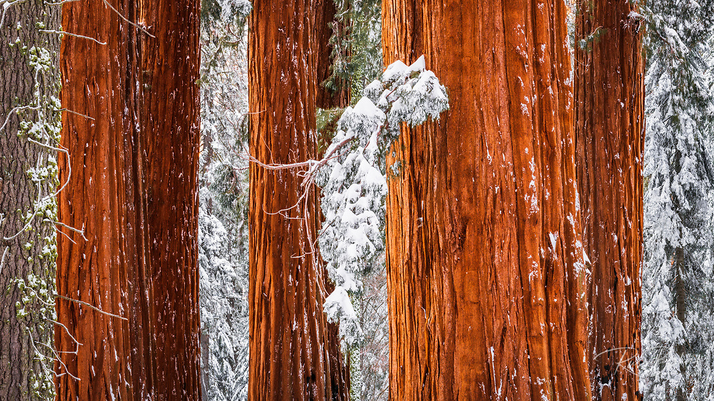 Giant Sequoia in the Congress Grove in winter, Giant Forest, Sequoia National Park, California USA