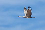 Bosque del Apache National Wildlife Refuge, New Mexiao,  Sandhill Crane (Grus canadensis) in flight